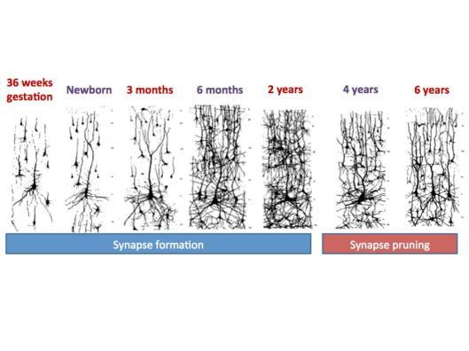 poda sinaptica